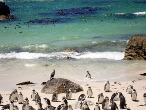Penguins at Boulder's Bay